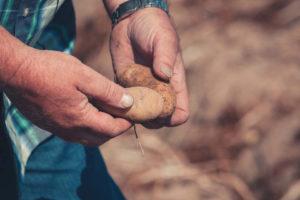 Kartoffeln_in_der_Hand