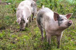 Livarschweine